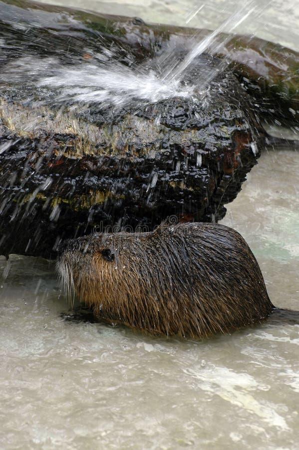 Bagno del castoro fotografia stock libera da diritti