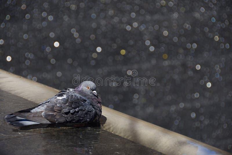 Bagno del piccione fotografia stock libera da diritti