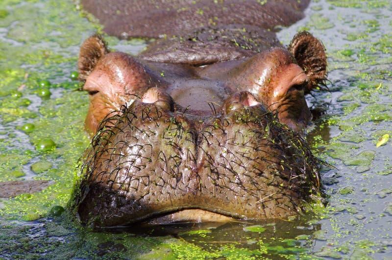 Bagno dell'ippopotamo fotografie stock libere da diritti