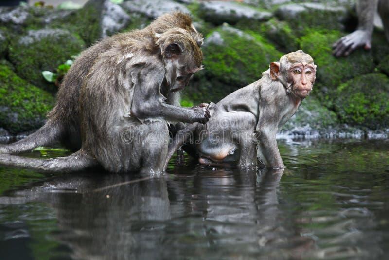 Bagno della scimmia fotografie stock libere da diritti