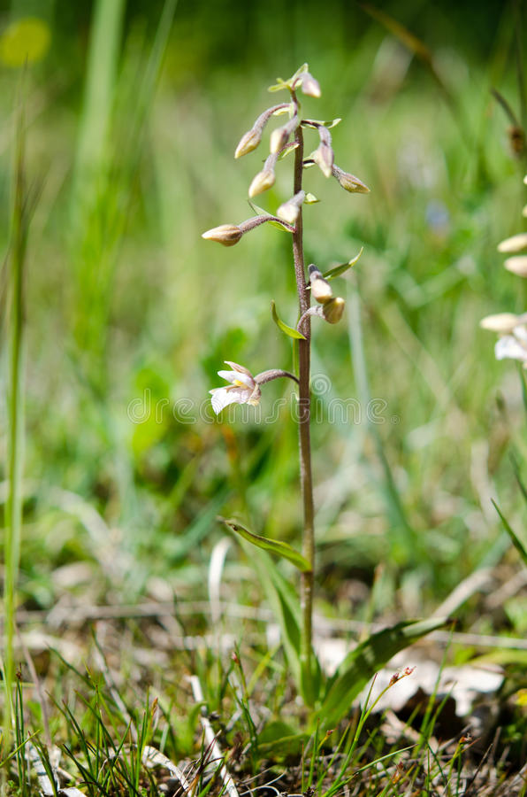 Bagno kruszczyka orchidea zdjęcie stock