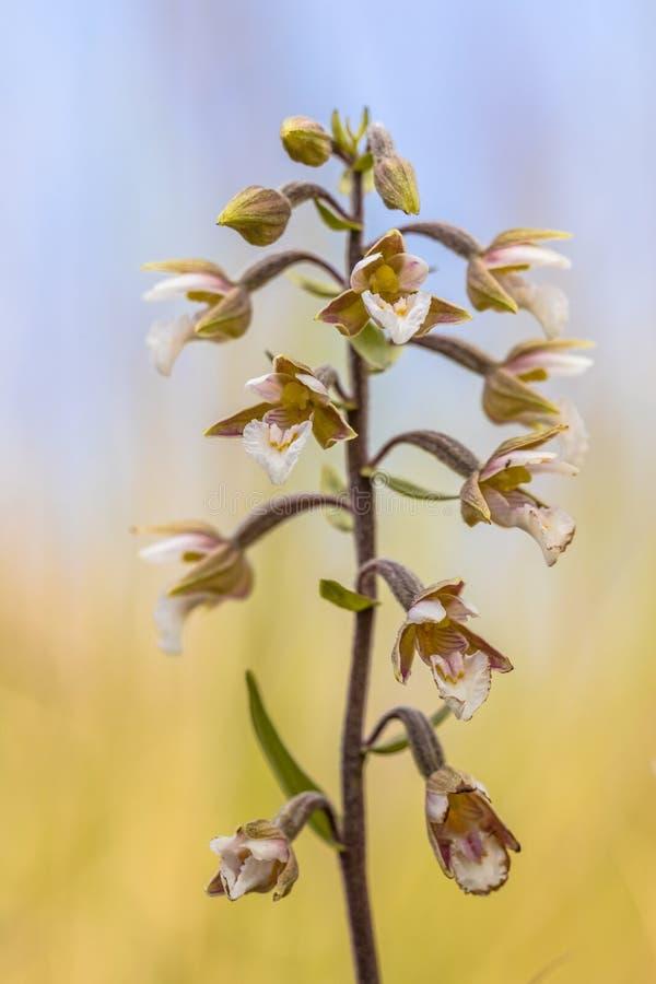 Bagno kruszczyka orchidea w kwiacie zdjęcie royalty free