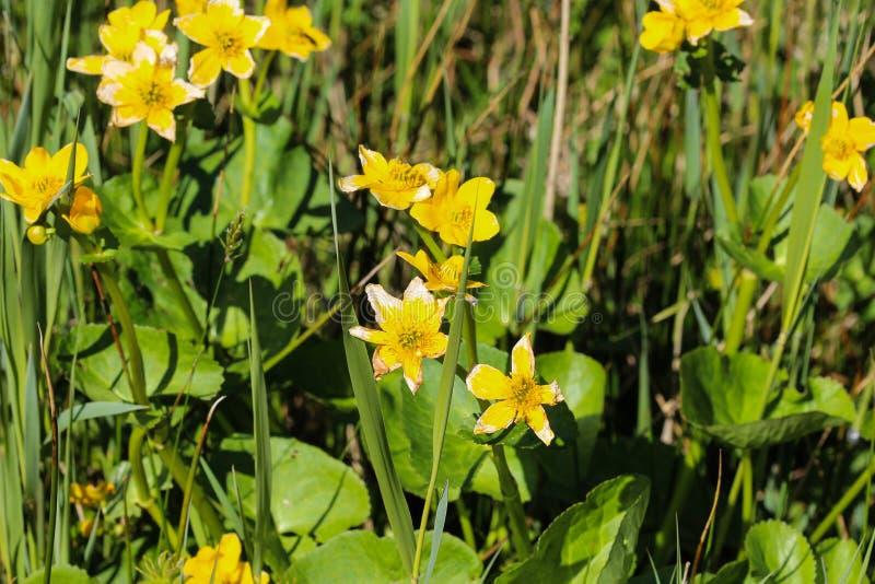 bagno nagietek lub kingcup (Caltha palustris fotografia royalty free