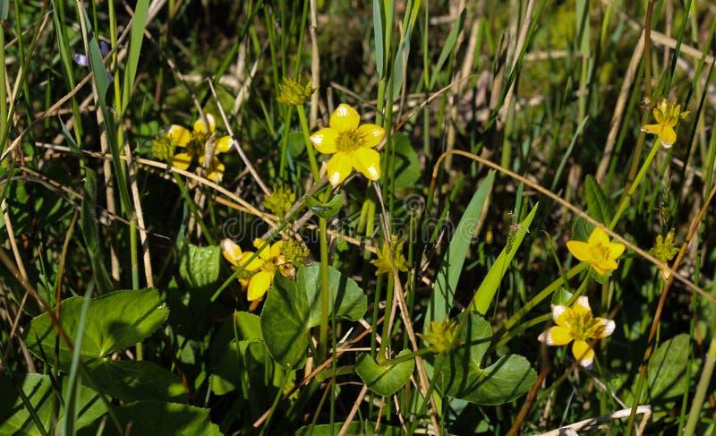 bagno nagietek lub kingcup (Caltha palustris zdjęcie royalty free
