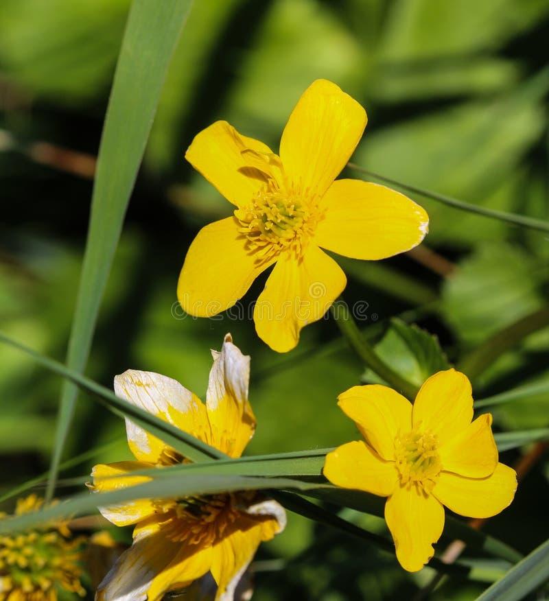 bagno nagietek lub kingcup (Caltha palustris zdjęcia stock