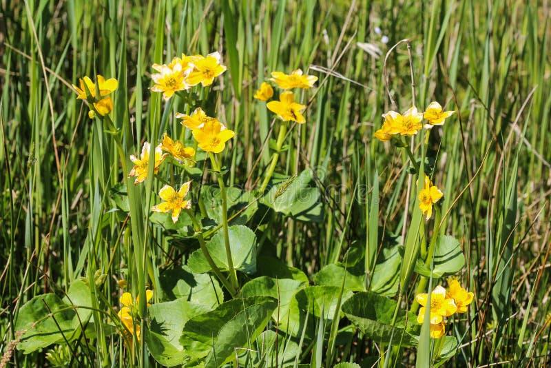 bagno nagietek lub kingcup (Caltha palustris zdjęcia royalty free