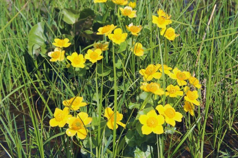 Bagno nagietka kwiaty Caltha palustris r w bagnie wiosna kwiat zdjęcia royalty free