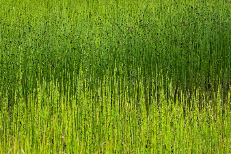 Bagno trawy jako natury tło, płochy i obrazy royalty free