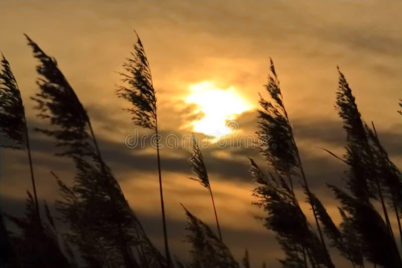 Bagno trawy na Wietrznym Złotym wieczór zdjęcie stock