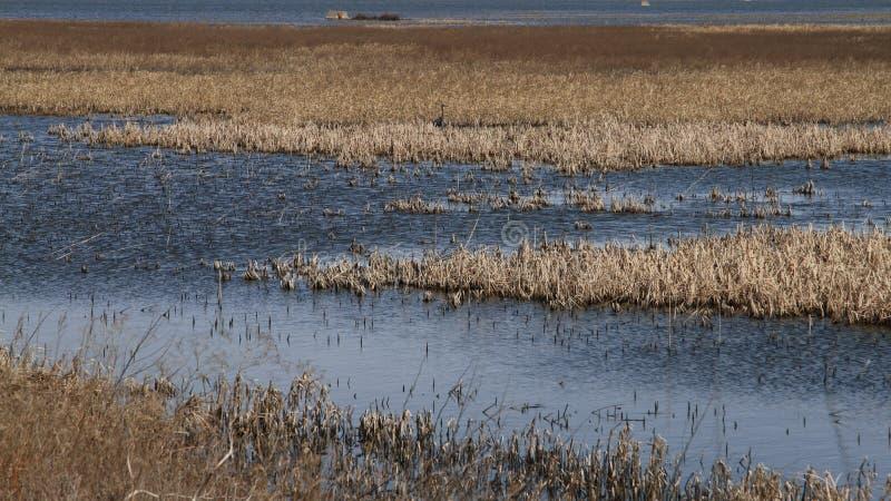 Bagno Z Wielkiego błękita czaplą W odległości fotografia stock