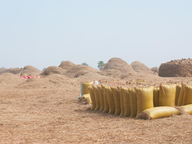 Bags of rice during harvest