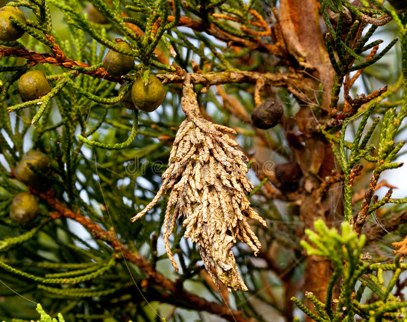 Bagworm on a pine tree stock images