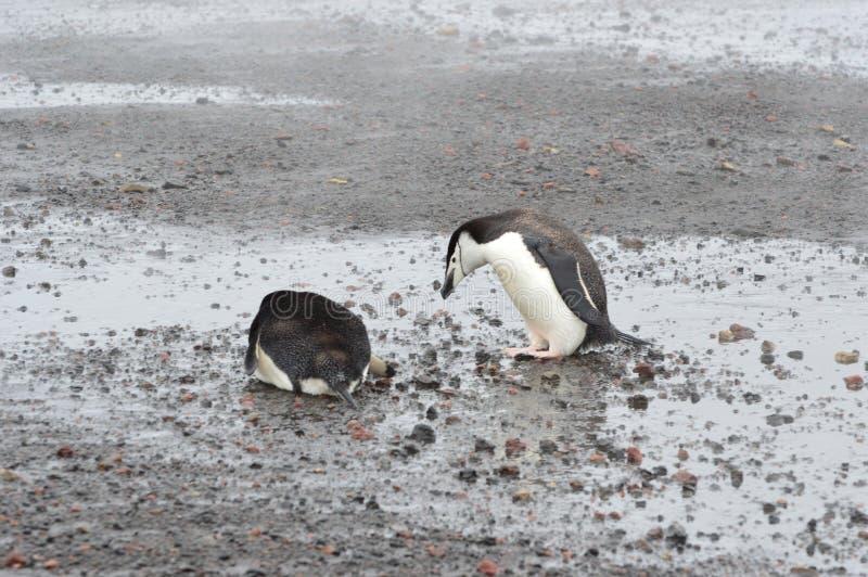 Bahía del ` s del ballenero del primer de los pingüinos de Chinstrap, la Antártida imágenes de archivo libres de regalías