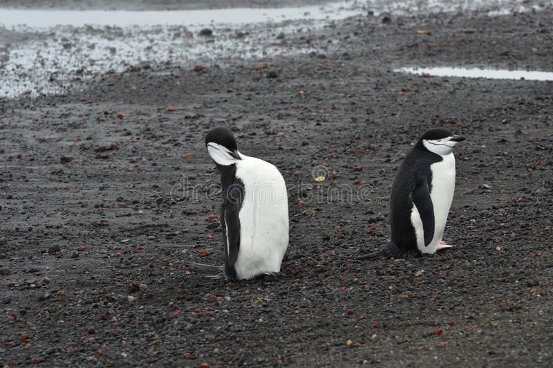 Bahía del ` s del ballenero del primer de los pingüinos de Chinstrap, la Antártida fotos de archivo