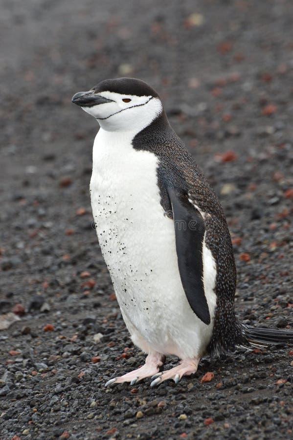Bahía del ` s del ballenero del primer del pingüino de Chinstrap, la Antártida fotos de archivo libres de regalías