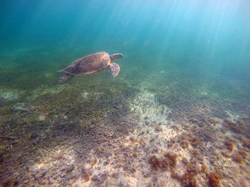 Bahía mexicana de Acumal de la natación subacuática de la tortuga de mar fotos de archivo libres de regalías