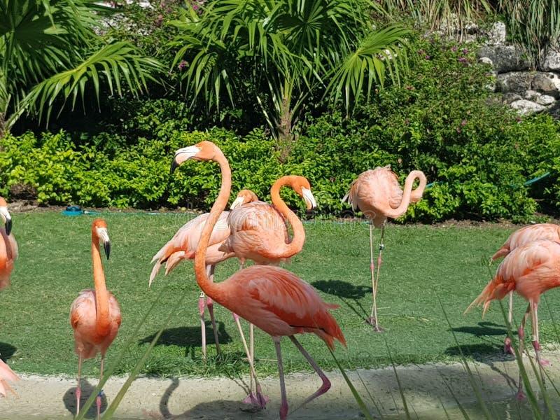 Baha brengt Flamingo's in de war stock afbeeldingen