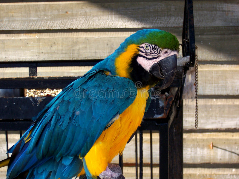 Baham's Macaw stock photo