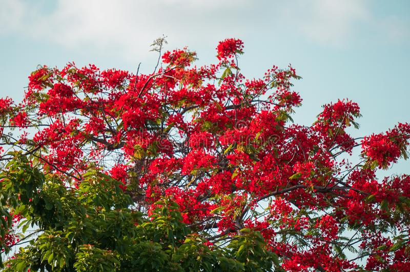 Bahamas, Ponciana, Flame tree, red brilliant blooms in June, tropical. In Bahamas the Ponciana or Flame tree blooms annually in June.  Always shows a wonderful stock photography