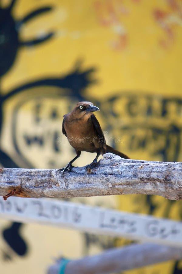 Bahamas ptasi z żółtym graffiti tłem obraz stock