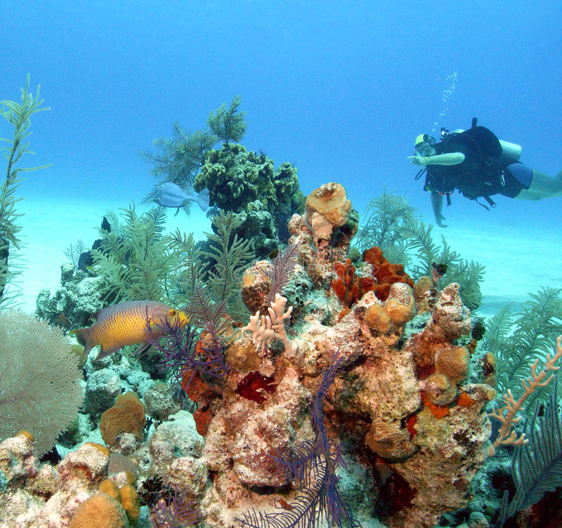 Bahamas reeflife. A scubadiver approaches a coral formation which includes a spanish hogfish & a honeycomb cowfish, off the island of san salvador, bahamas