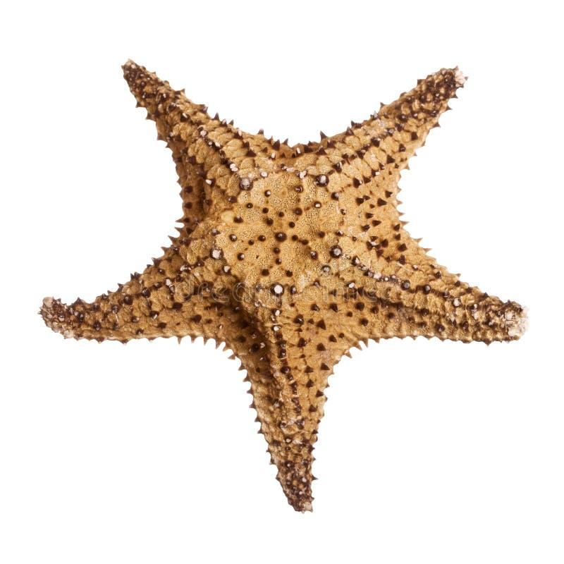 bahamastjärna arkivfoto