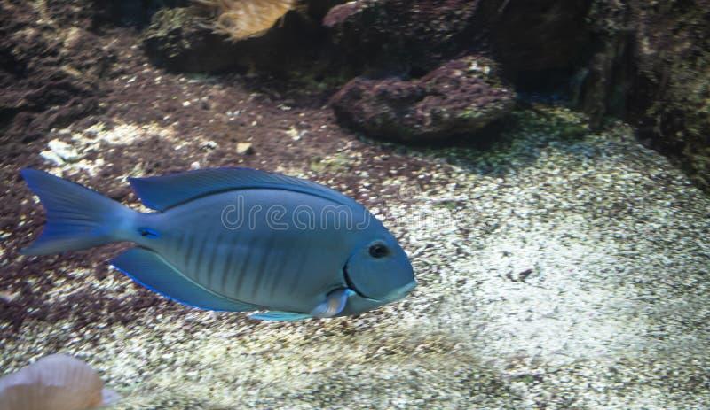Bahianusen för havsurgeonfishAcanthurus royaltyfri fotografi
