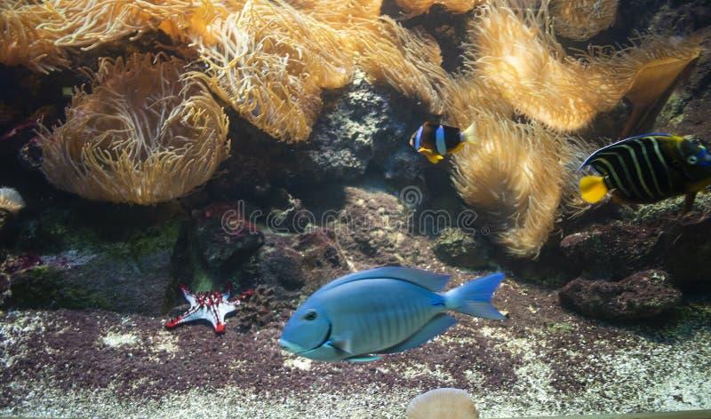 Bahianusen för havsurgeonfishAcanthurus arkivbild