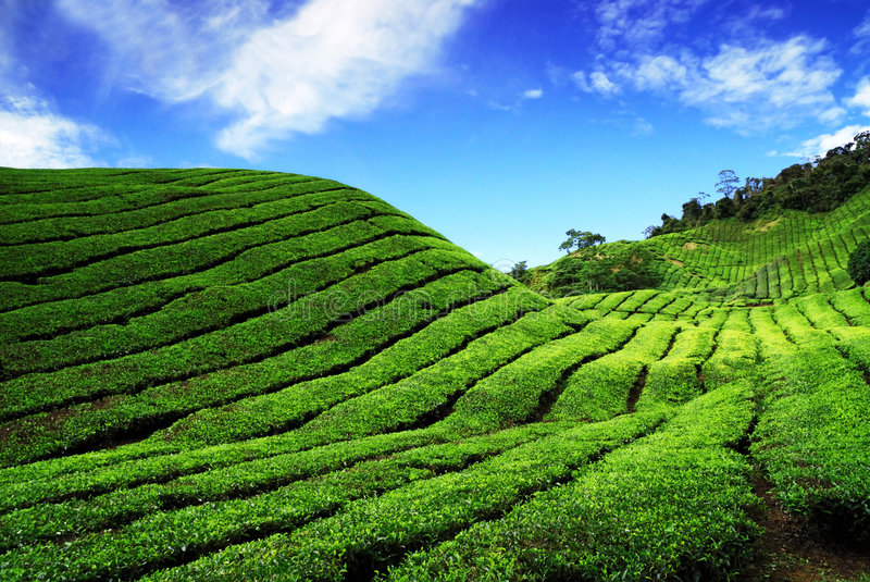 Bahrat Tea Plantation royalty free stock image