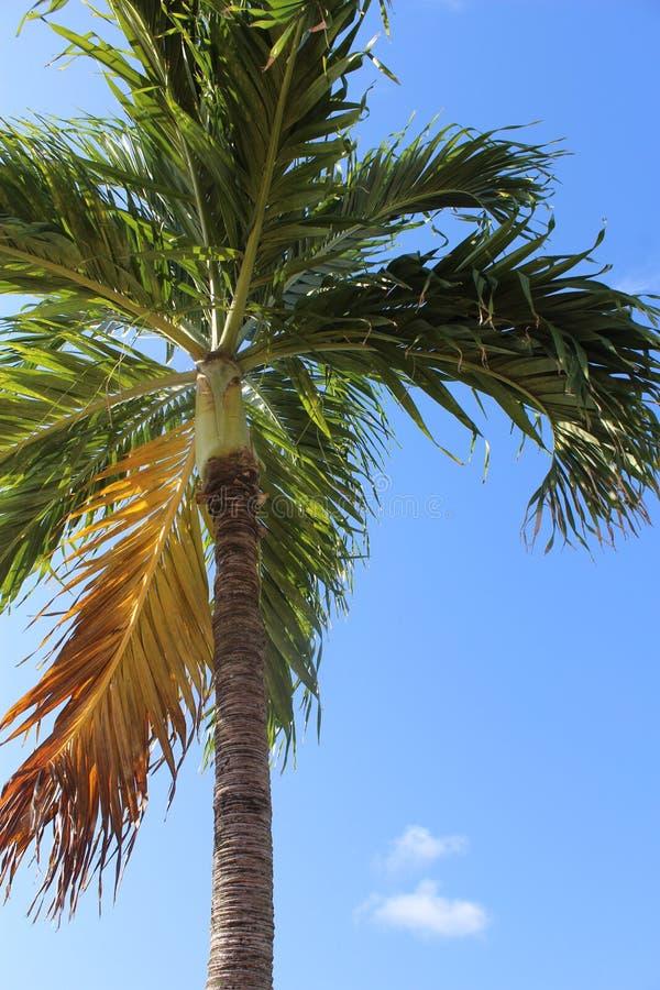 Baia indiana della palma caraibica, SVG fotografia stock