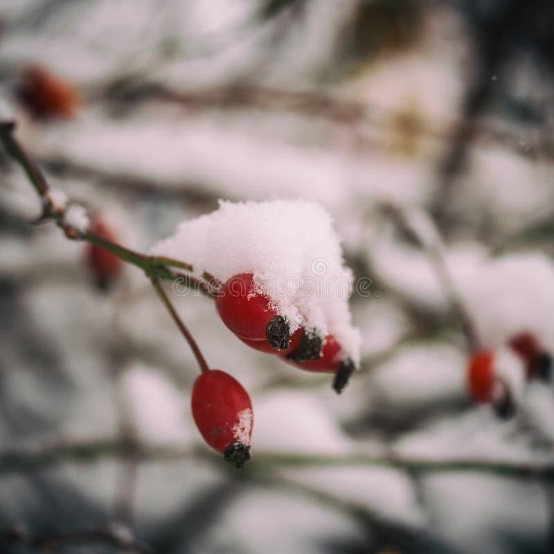 Baie mûre de briar dans la neige, macro image image libre de droits