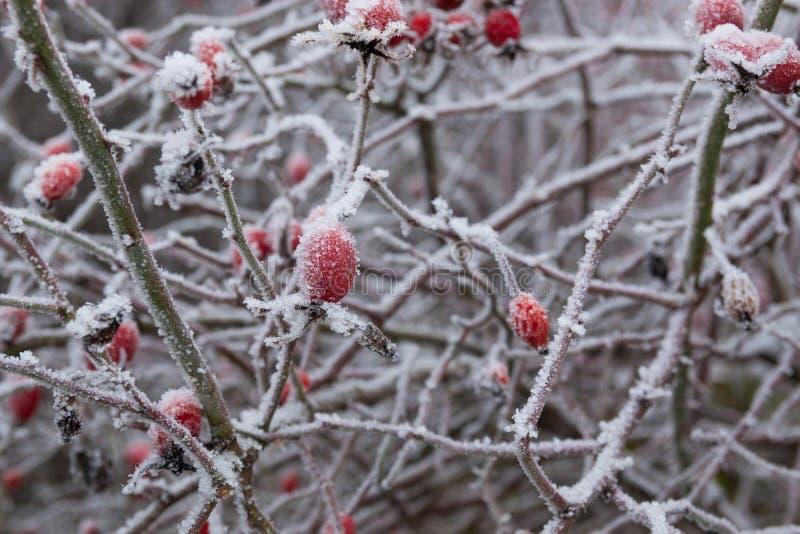 Baie rouge de briar dans la neige, fond d'hiver photographie stock libre de droits