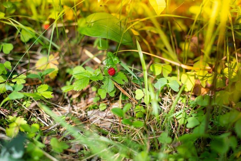 Baie rouge foncé des fraises mûres en clairière de forêt Fraisier commun organique croissant sur le buisson dans la branche de fo images libres de droits