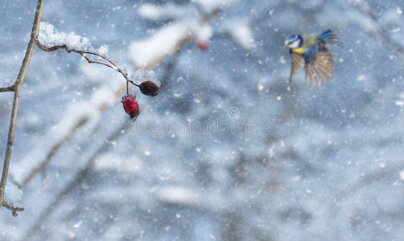 Baie rouge givrée dans la forêt par jour neigeux photo libre de droits