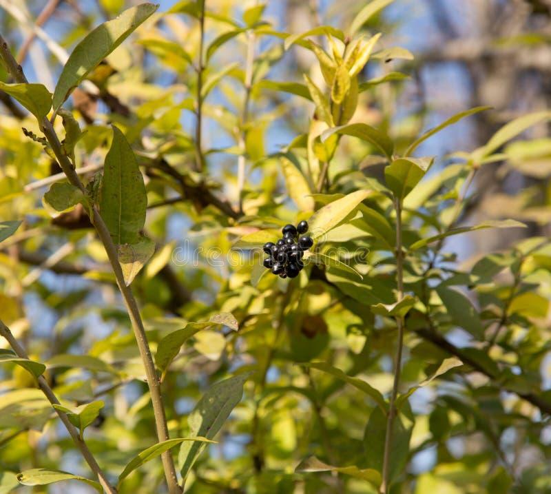 Baies bleues et brillantes profondes sur un arbuste du troène sauvage, vulgare de Ligustrum images libres de droits
