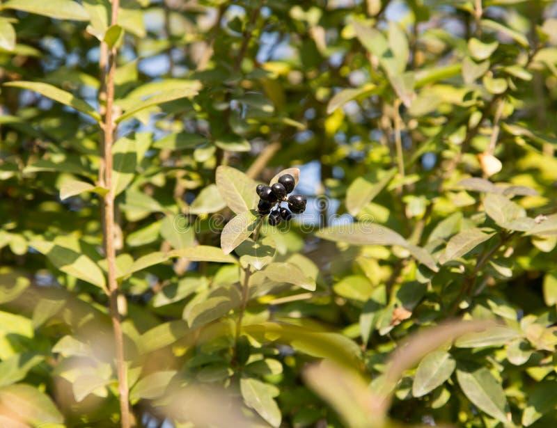 Baies bleues et brillantes profondes sur un arbuste du troène sauvage, vulgare de Ligustrum, en automne image libre de droits
