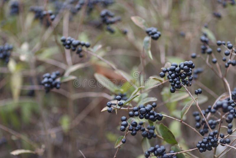 Baies bleues et brillantes profondes sur un arbuste du troène sauvage, vulgare de Ligustrum, en automne images libres de droits