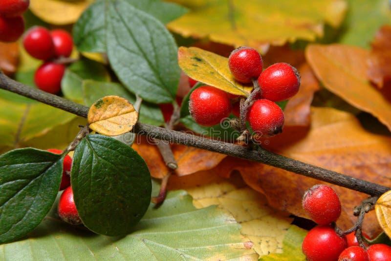 Baies d'automne photo libre de droits