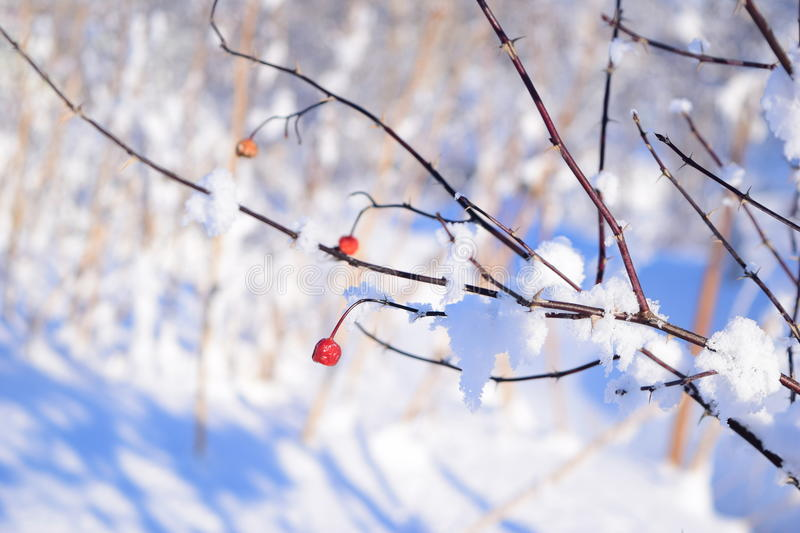 Baies d'hiver photographie stock