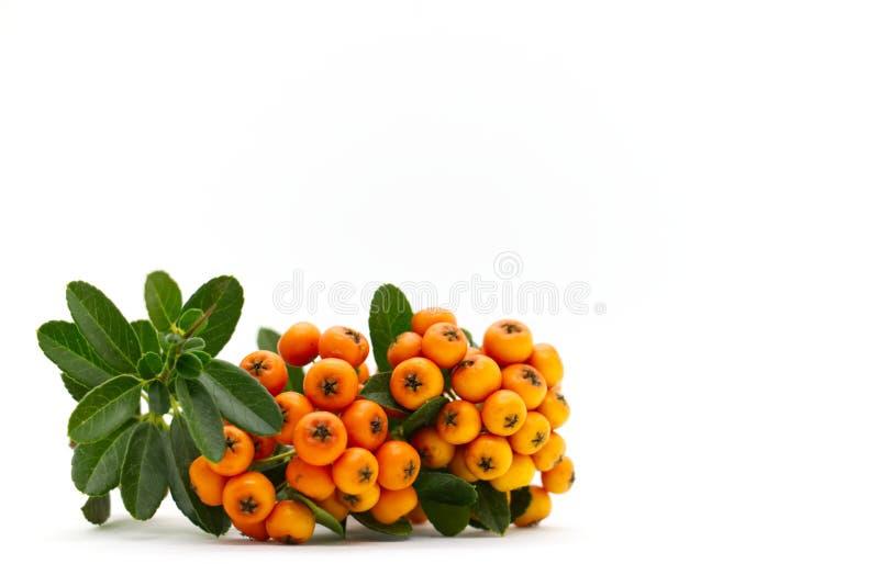 Baies d'orange de Firethorn de Pyracantha photographie stock