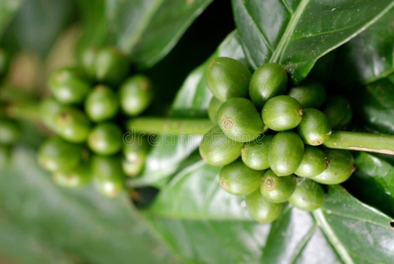 Baies de café vertes II photographie stock