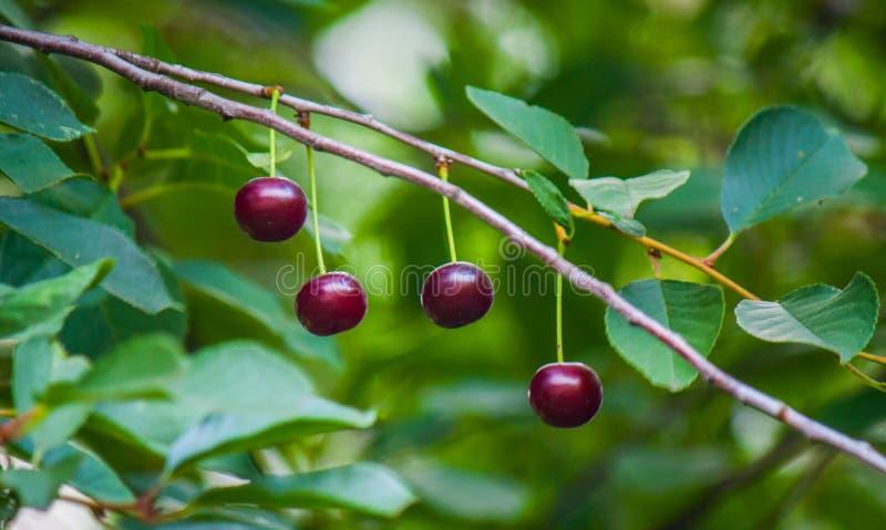 Baies de cerise sur une branche d'arbre photographie stock