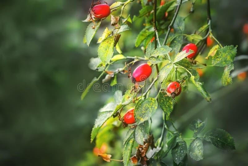 Baies de chien-rose mûre sur un buisson sur un background_ trouble photo libre de droits
