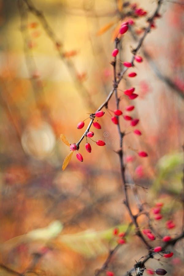 Baies de cornouiller sur les branches, sur un fond color? Foyer s?lectif Profondeur de zone Image modifi?e la tonalit? images stock