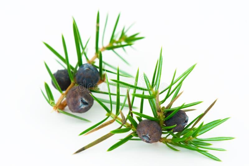 Baies de genévrier (juniperus communis). photographie stock libre de droits