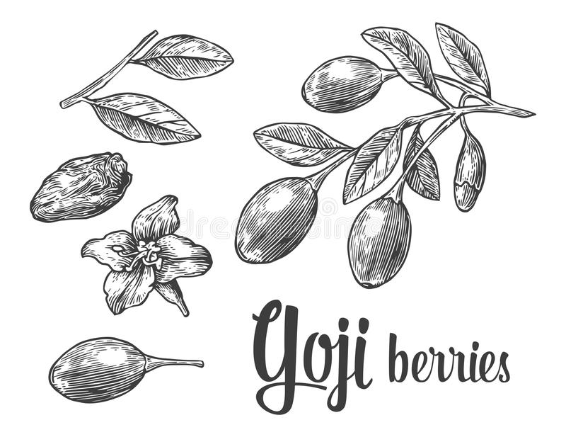 Baies de Goji sur une branche Illustration noire et blanche de gravure de vintage de vecteur illustration de vecteur