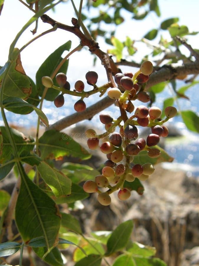 Baies de pistache sauvage images stock