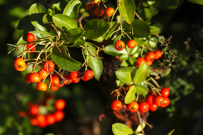 Download Baies de Pyracantha image stock. Image du baie, buisson - 76084043