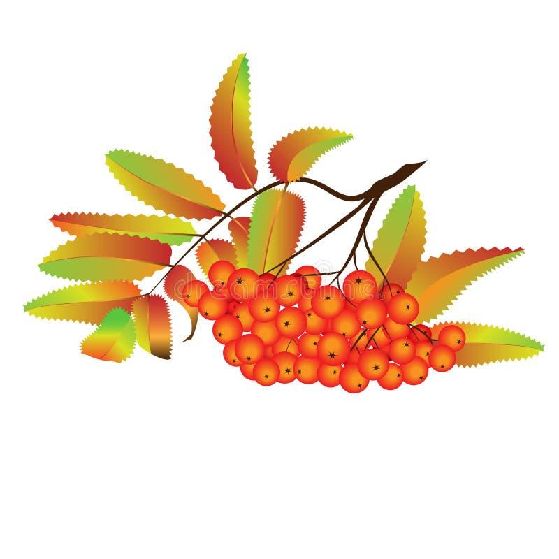 Baies de sorbe d'automne illustration stock