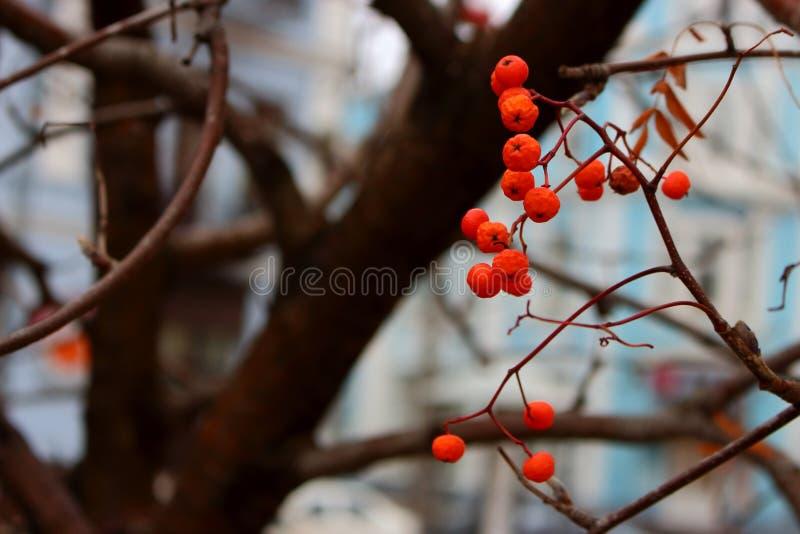 Baies de sorbe rouges lumineuses sur les branches d'arbre nues unfocused et le fond bleu images stock